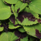 Coleus 'Chocolate Lime Splash', lime leaves with dark brown splotches