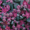 Sedum cauticola 'Lidakense', blue-green-gray leaves, pink flowers
