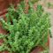 Sedum requieni, tiny bright green succulent leaves