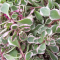 Sedum 'Tricolor', gray-green leaves with white edges and touches of pink
