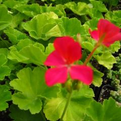 Pelargonium 'Persian Queen', dark pink blooms and lime green leaves