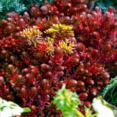 Sedum 'Chocolate Ball', dark red-brown leaves, yellow flowers