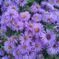 Aster 'Purple Dome', purple threadleaf daisies with yellow centers