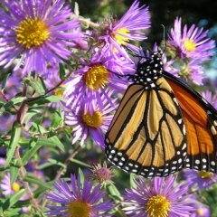 Aster nova-angliae, purple threadleaf daisies, yellow centers w Monarch