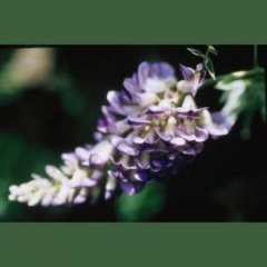 Wisteria 'Aunt Dee', close up of flower, lavender-blue and white