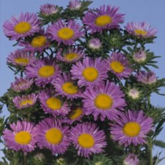 Aster azureus, purple mini daisies with large yellow centers