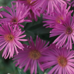 Aster 'Dream of Beauty', pink long-petaled asters with yellow centers