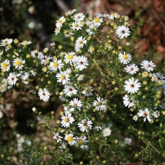 Aster ericoides, white small asters with yellow centers