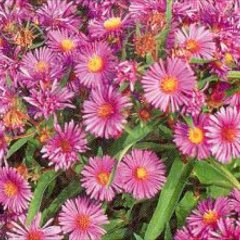 Aster laevis, pink-lavender mini daisies