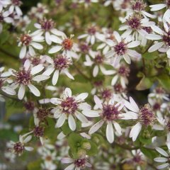 Aster divaricatus, white petals, pink or yellow centers