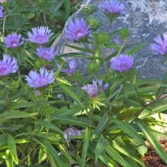 Stokesia 'Klaus Jelitto', purple large-flowered asters