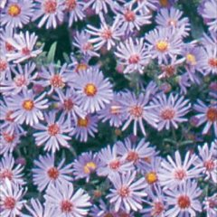 Aster 'Woods Blue', light blue-lavender asters with yellow eyes