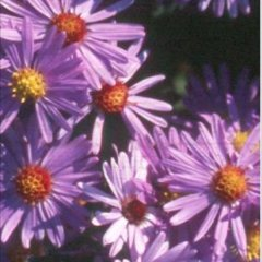Aster 'Woods Purple', lavender asters with golden centers
