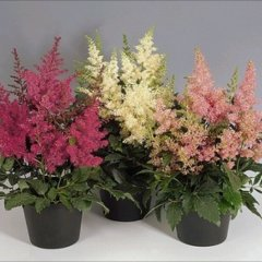 Astilbe 'Astary Mix', pink white and almost red