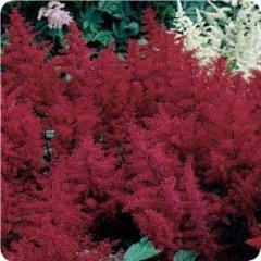 Astilbe 'Montgomery', dark red plumes