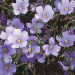 Liinum 'Saphyr', winsome blue-lavender single flowers