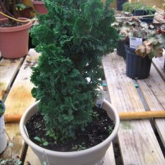 Thuja 'Zmatlik' upright green arborvitae in a pot