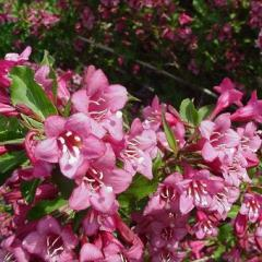 Weigela 'Rumba' mid-pink wide tubular flowers