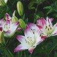 Lilium 'Lollipop', white petals with pink-dipped ends