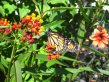 Monarch butterfly on red and orange flowerhead
