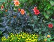 Dark leaves and reddish-orange dahlia blooms