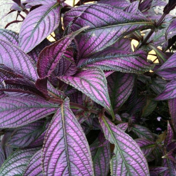 purple leaf vegetable. purple leaf plants purple and green leaf by, Natural flower