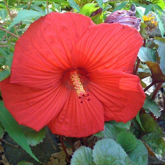 hibiscus luna red friends school plant sale. Black Bedroom Furniture Sets. Home Design Ideas
