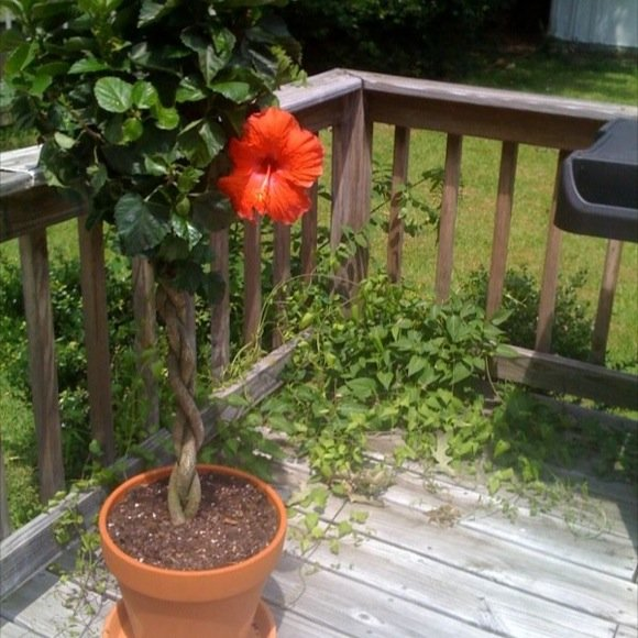 braided hibiscus tree - photo #19