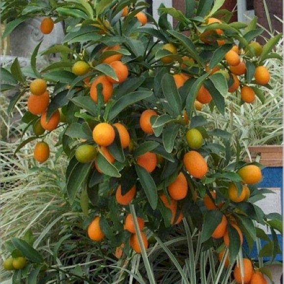 Citrus kumquat nagami friends school plant sale for Plante kumquat