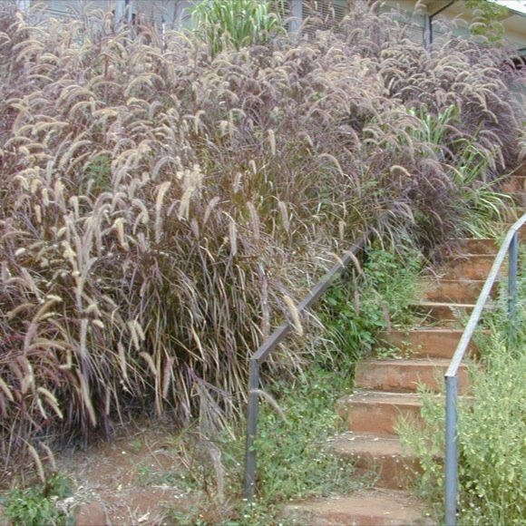 Fountain grass annual burgundy giant friends school for Fountain grass varieties