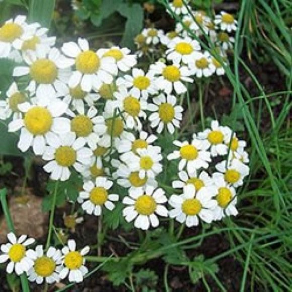 Lawn Chamomile - Home   Facebook