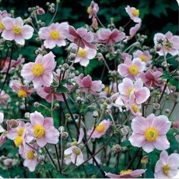 Anemone fall blooming robustissima crop failure friends school plant sale - Fall blooming flowers ...