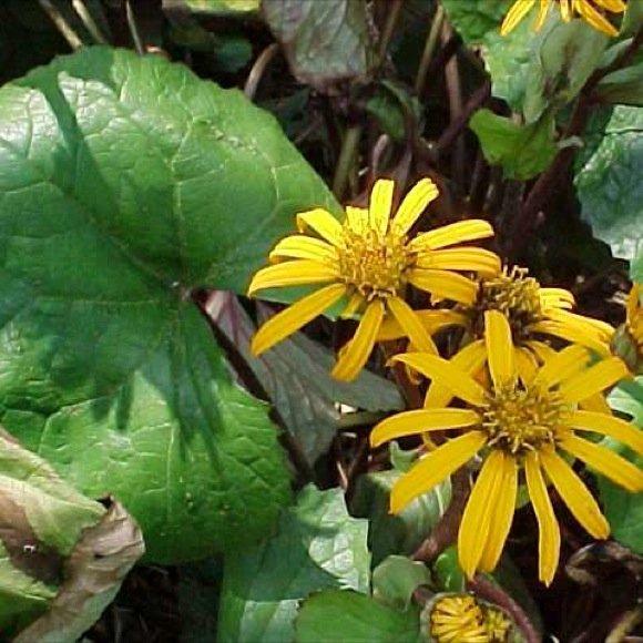 Ligularia desdemona friends school plant sale Missouri botanical garden plant finder