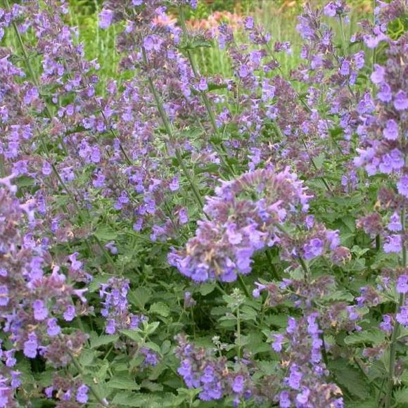 Catmint plant care