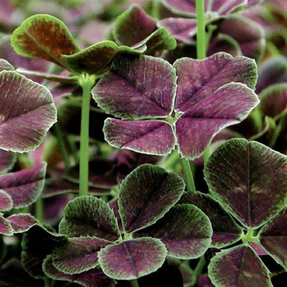 Shamrock purple dark dancer friends school plant sale - Shamrock houseplant ...