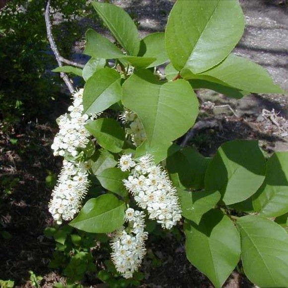 Chokecherry douglas county minn source friends Missouri botanical garden plant finder
