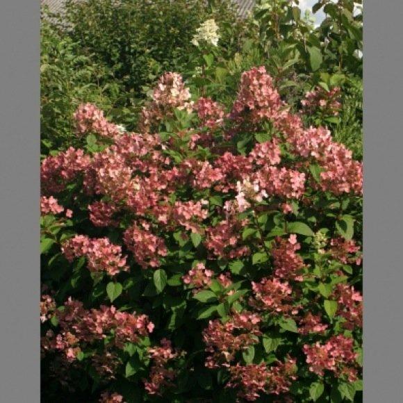 Quick Fire Hydrangea Bush Quick Fire Hydrangea Tree Form