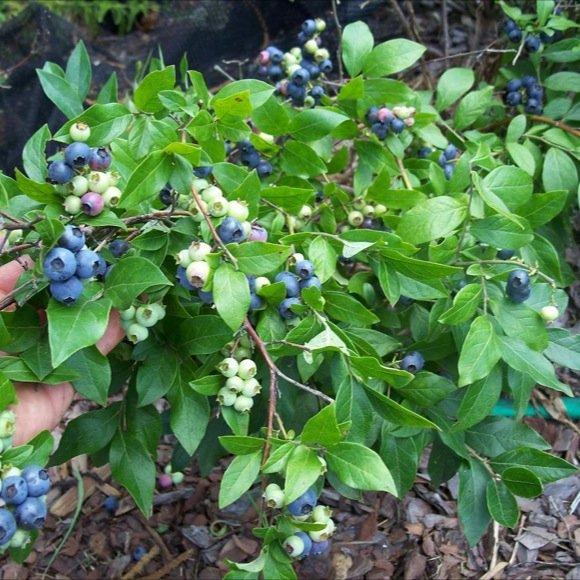 Blueberry Northsky Friends School Plant Sale